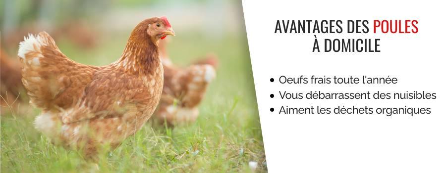 Avantages des poules à domicile